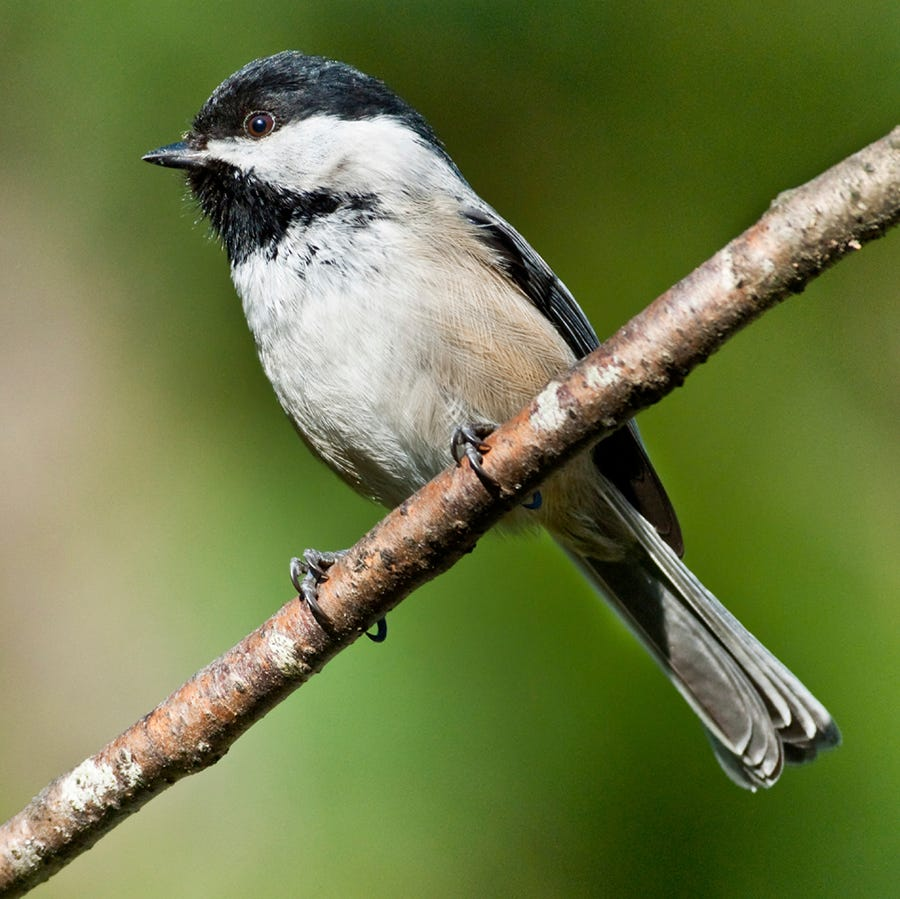 Black-capped Chickadees are easy to spot thanks to their black head and throat markings.