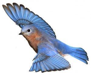 how do birds bathe bluebird flying