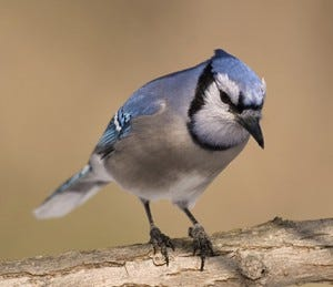 The distinctive markings of a Blue Jay make it tough to miss.