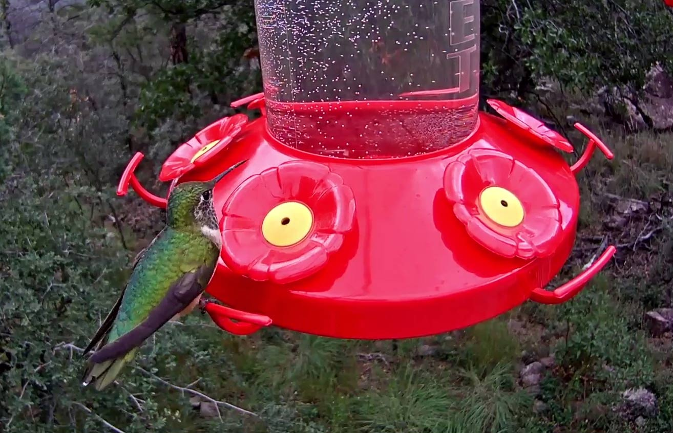 Expect to see about a dozen hummingbird species visiting the West Texas Hummingbird Feeder Cam.