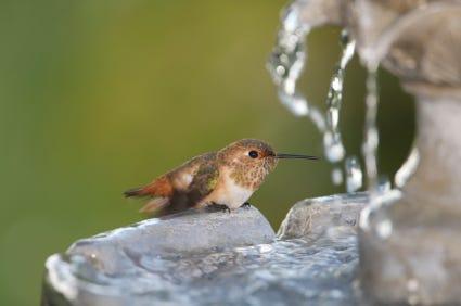 how do birds bathe hummingbird in fountain