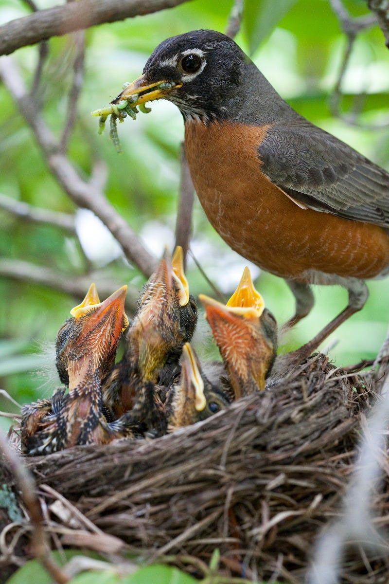 american robin feeding her brood