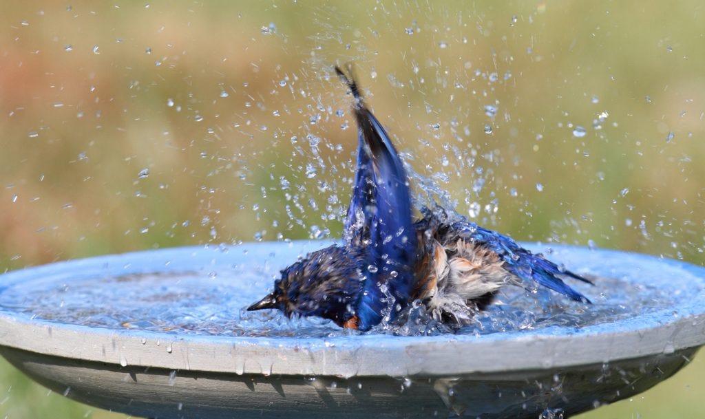 how do birds bathe bluebird in birdbath