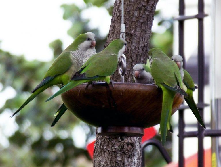 exotic birds monk parakeets