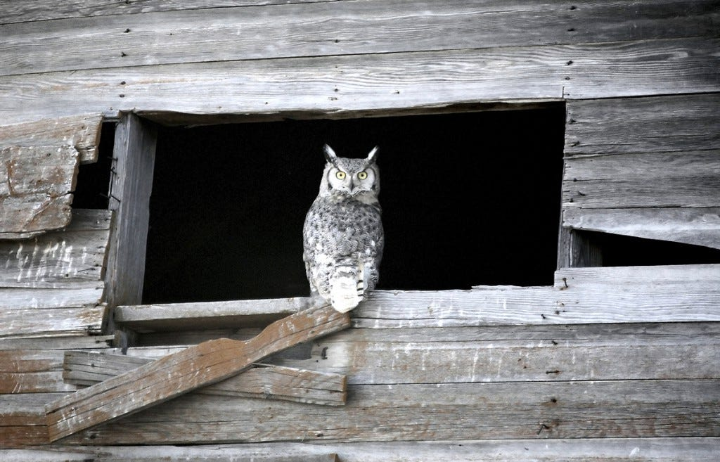 Don't relegate your Christmas Bird Count activity to daylight hours only! You may have a few owls and other nocturnal birds that can be part of the survey.