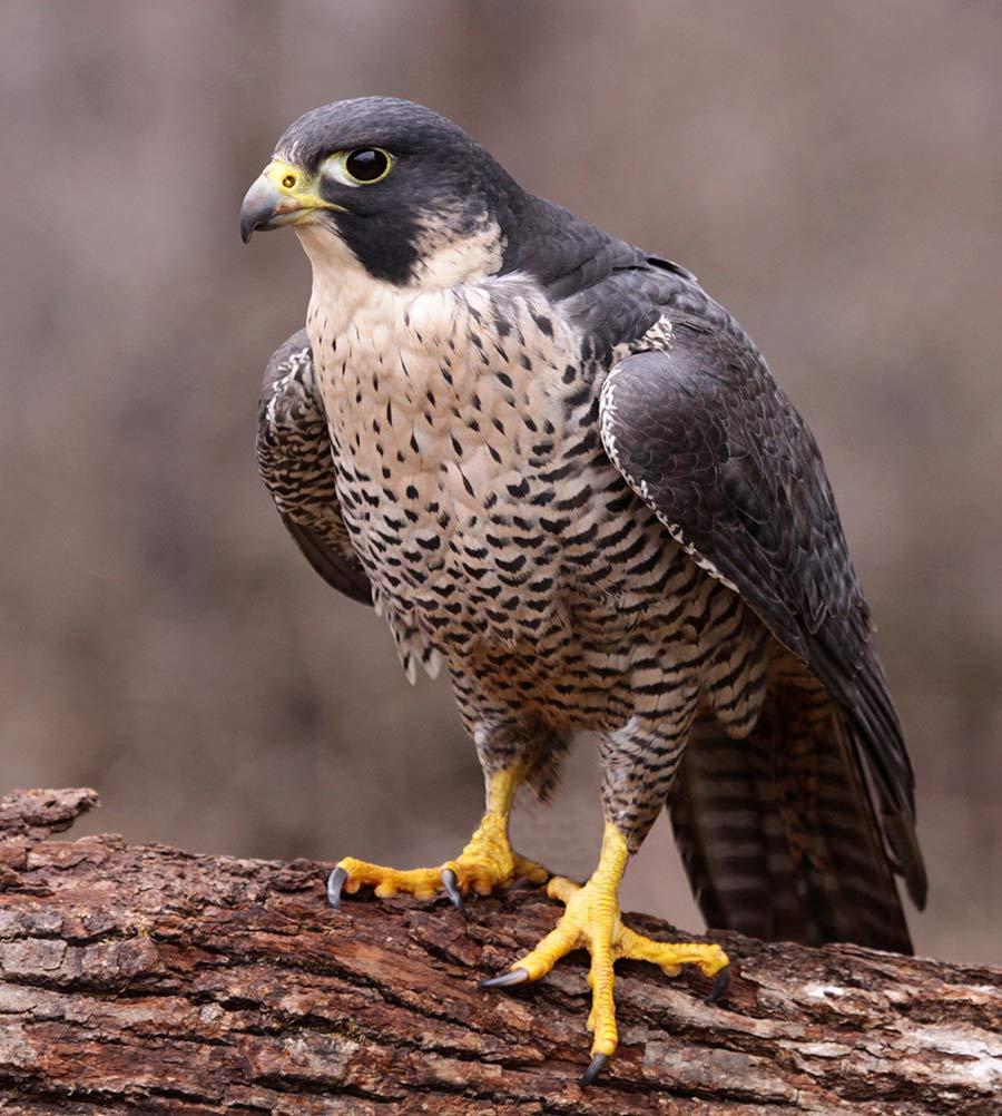 The peregrine falcon, along with many birds of prey, commonly hunts backyard birds.