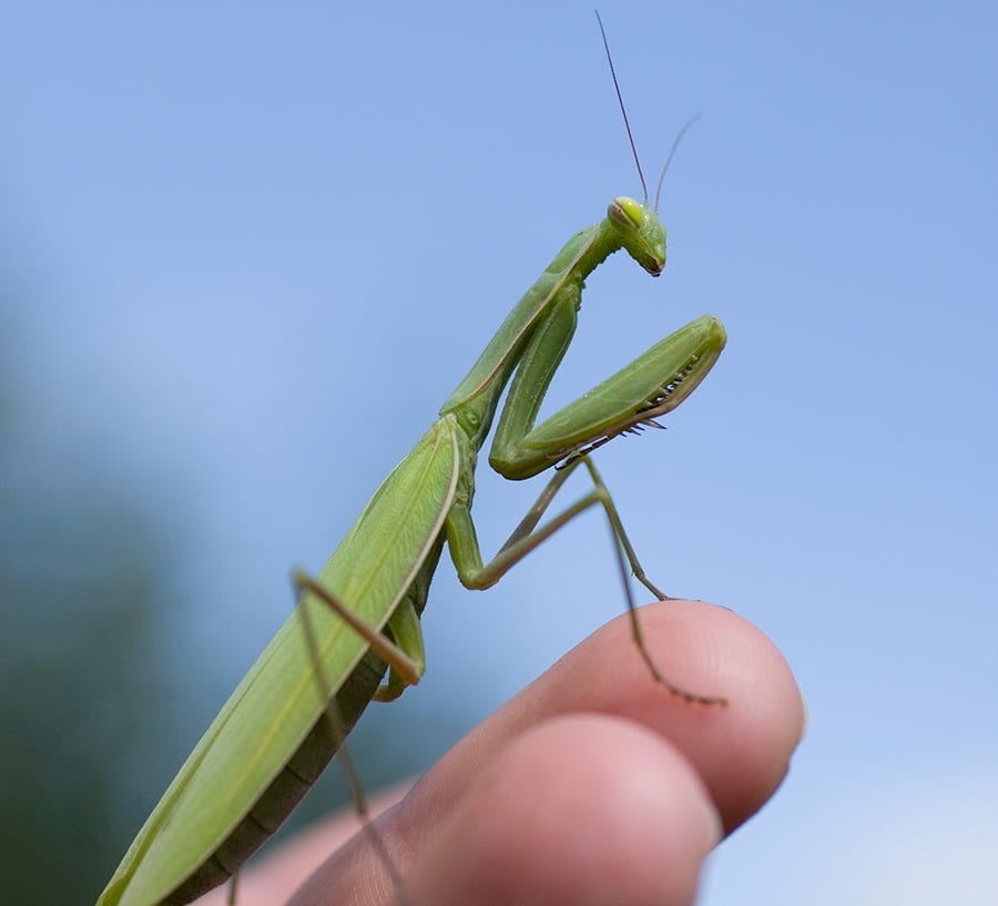 Though the praying mantis is considered a garden helper, it is also known to hunt hummingbirds.