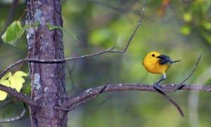 Prothonotary Warbler habitat