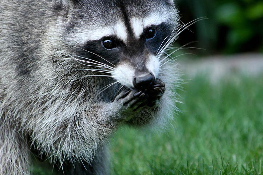 Aside from enjoying bird seed, raccoons are also known to eat bird eggs.