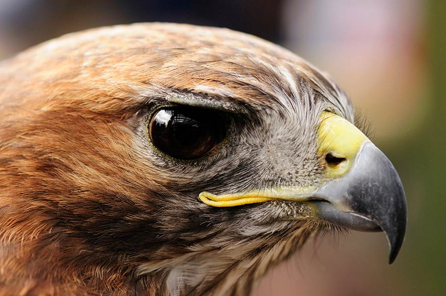 The Red-tailed Hawk has the classic bird of prey profile — a hooked beak and piercing eyes.