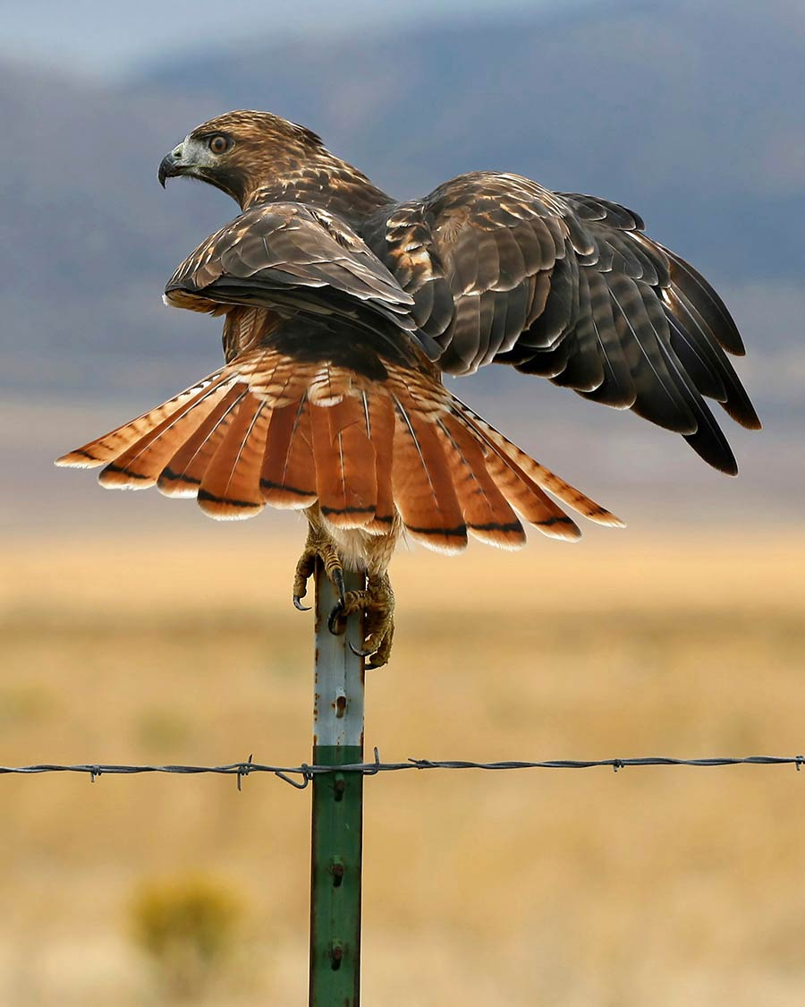 The Red-tailed Hawk flares its tail feathers, showing off their reddish color.