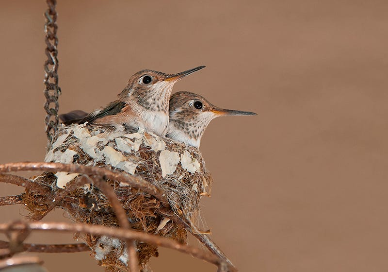 Ruby-Throated Hummingbird nests are very small and are sometimes built on top of household objects.