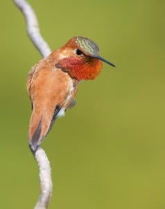 When agitated, male Rufous Hummingbirds will show off their bright orange throats.