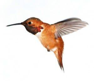 rufous hummingbird appearance