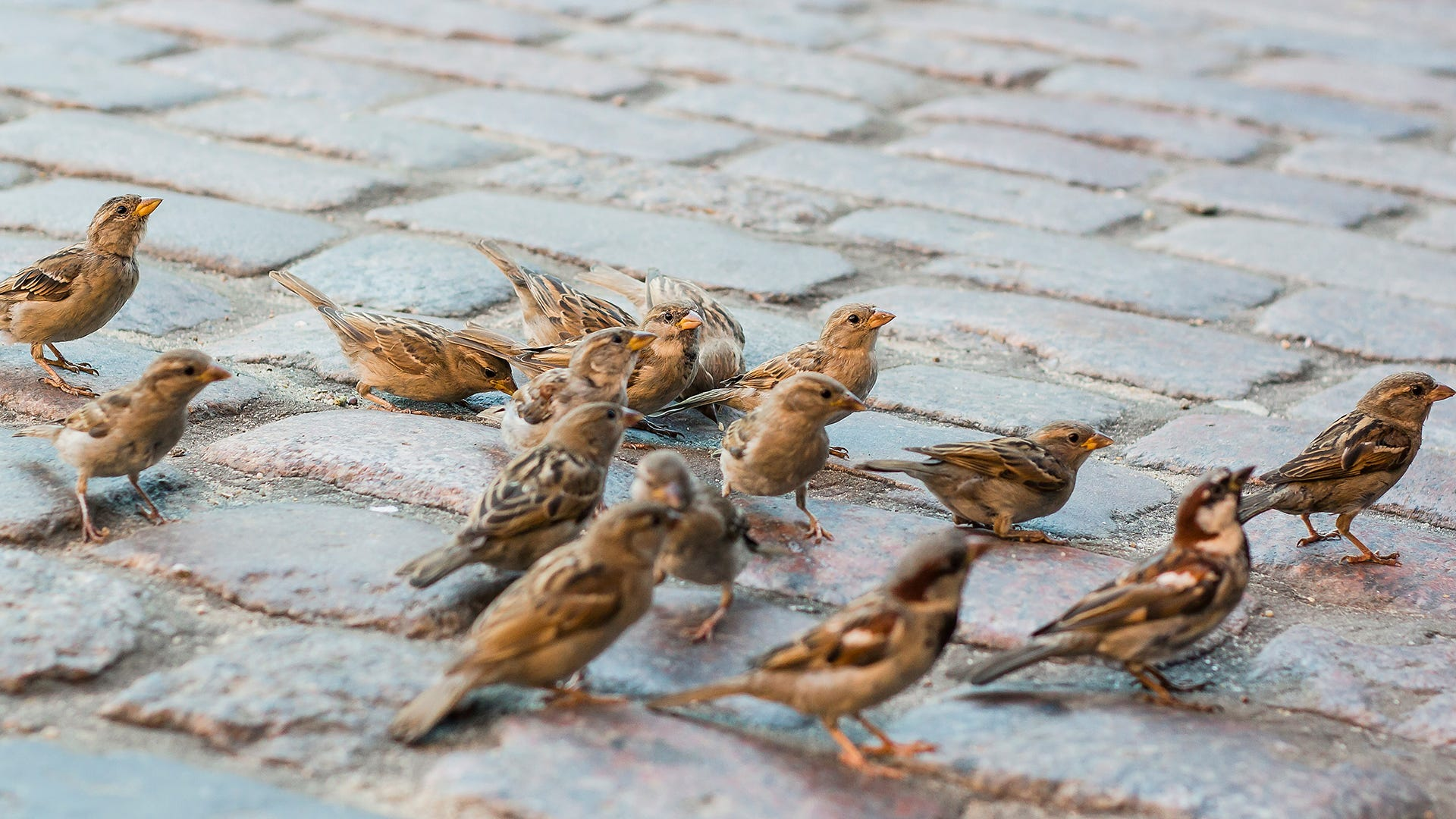 sparrows in the city