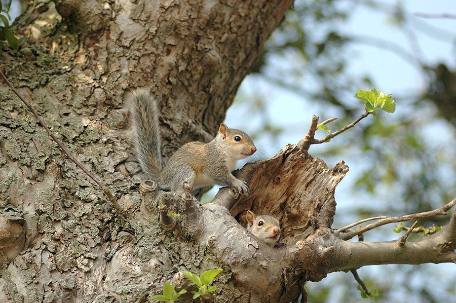 Squirrels will bunk in tree cavities, which provide them with protection from the elements.