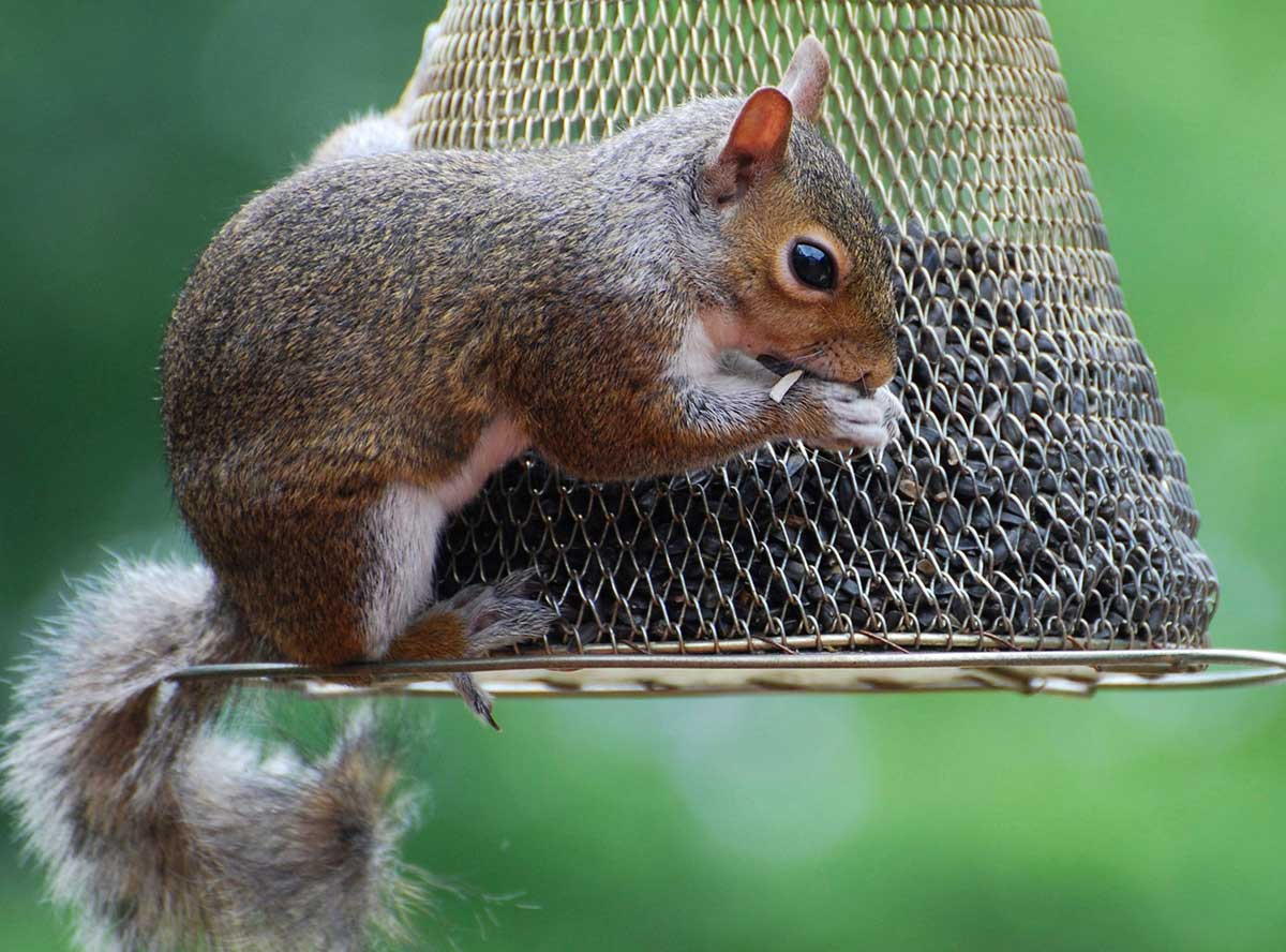 what to feed squirrels