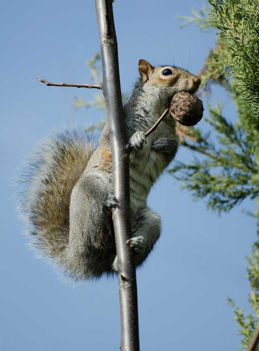 what to feed squirrels nuts