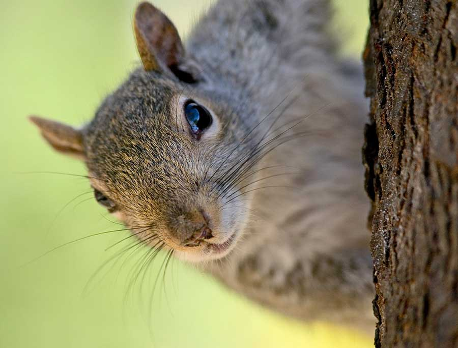 Squirrels will occasionally ransack bird nests in search of eggs to eat.