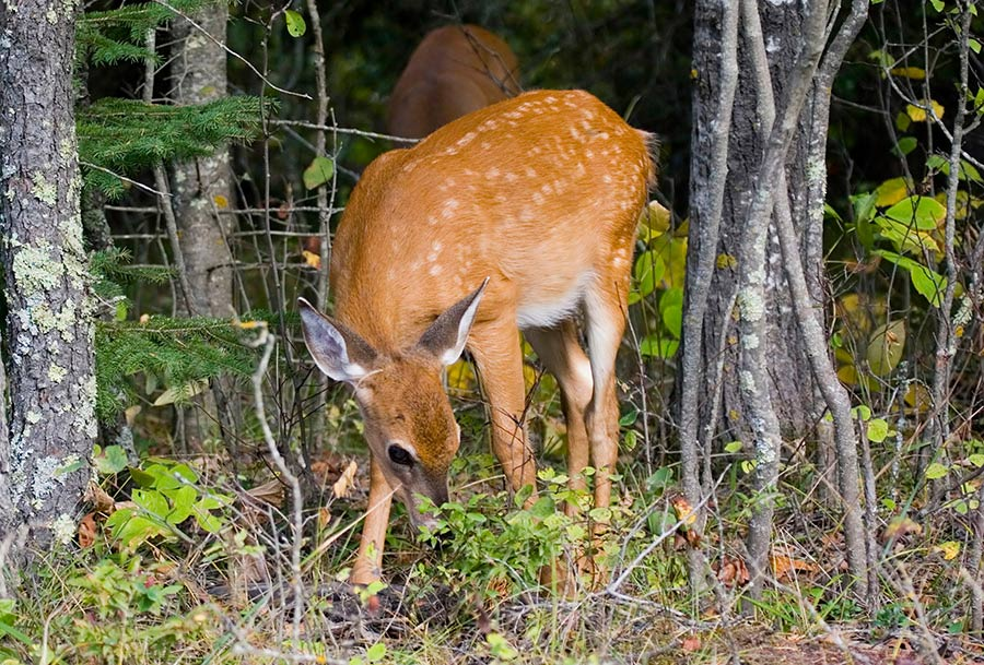 While it isn't considered everyday behavior, some white-tailed deer have been seen eating bird chicks.