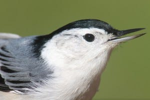 white-breasted nuthatch habitat